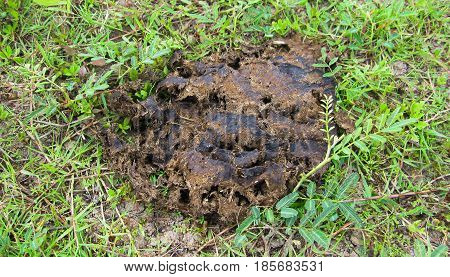 Cow dung on grassy soil on grass