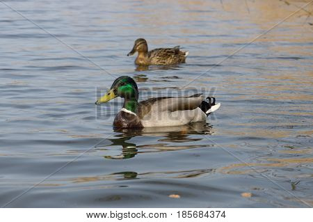 Ducks on the water. In the foreground is a drake.