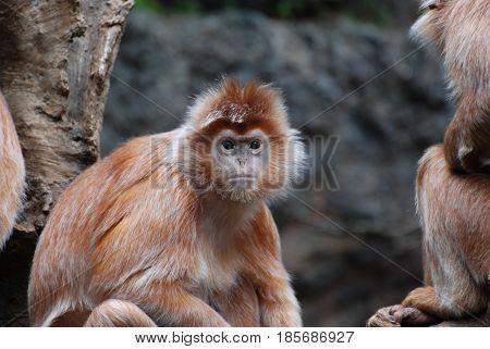 Great face of a javan latung monkey with orange fur.