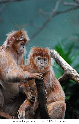 Two javan langur monkeys sitting together examining something.
