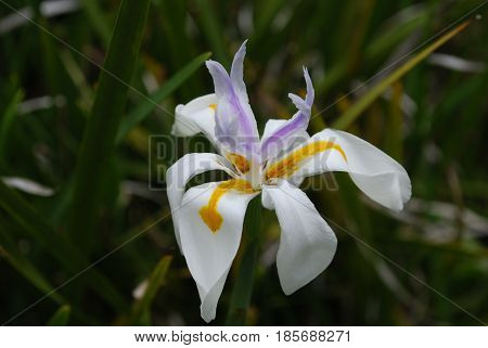 Garden with a blooming white Siberian iris flower.