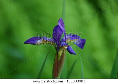 Garden with a flowering purple Siberian Iris flower.