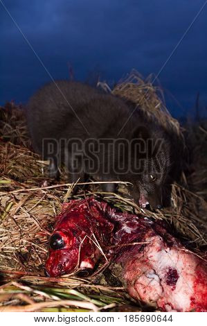 Blue Foxes Come At Night To Devour Carcasses Of Seals