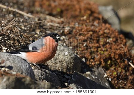 Close-up of a male bullfinch (Pyrrhula pyrrhula) with a sunflower seed in his beak sitting on the ground picture fromthe North of Sweden.