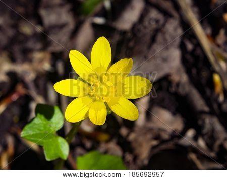 Blooming lesser celandine Ficaria verna or Ranunculus ficaria close-up selective focus shallow DOF.