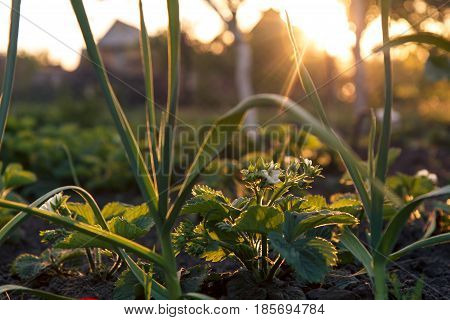 Green garlic and bush of strawberries growing in the garden Shallow depth of field focusing on strawberries bush