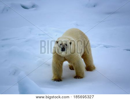 Polar Bear Near North Pole (86-87 Degrees North Latitude)