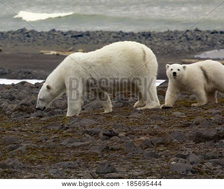 Polar Bear On The Franz-josef Land.