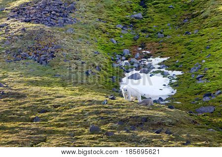 Family Of Polar Bears On Northbrook Island (franz Josef Land)