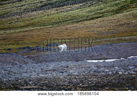 Polar Bear On The Franz Josef Land.