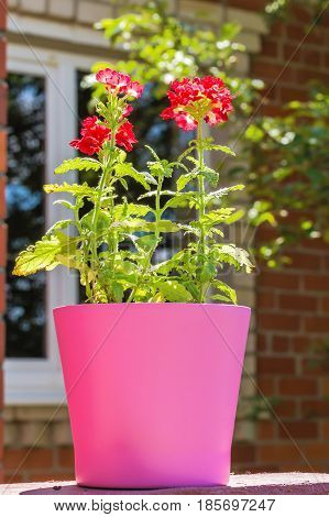 Bright summer flowers verbena in pink flowerpot backlit on a blurred background of a brick wall and window on a sunny day
