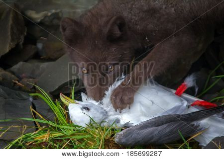 Blue Fox Breaks Bird Seagull, Caught On Rookery