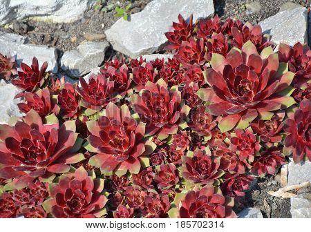 Red Sempervivum Succulent Plants