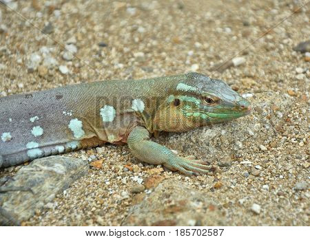 The Whiptail Blue Lizard