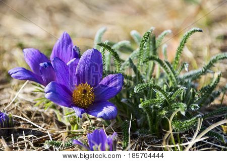 Detail rare and protected spring flower - Pulsatilla ( pasqueflower) on the meadow. Close up.