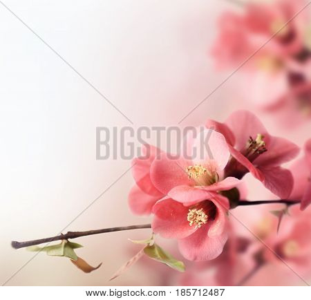 Beautiful pink cherry blossom closeup with copyspace