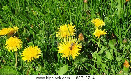 Meadow Of Dandelions Panorama with honey bee. Taraxacum is a large genus of flowering plants in the family Asteraceae and consists of species commonly known as dandelion.