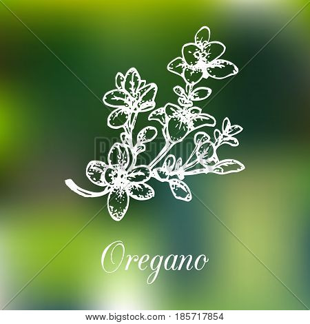 Vector oregano illustration on blur background. Hand drawn sketch of spice plant. Botanical herbal drawing. Organic, bio, eco herb isolated.