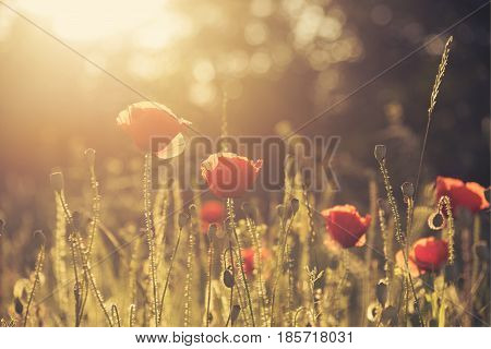 beautiful poppy field with sun rays. Retro style.