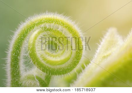 Tendril of green climbing plant growing in a spiral form. nature background macro shot.