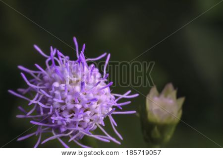 Details of small purple grass flower blossoming in nature on high magnification macro shot.