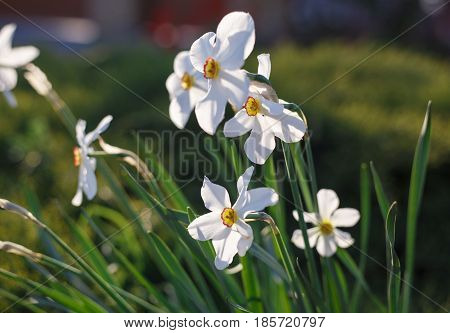 White Flowers. Spring Background. Fruit Tree Flowers. Panoramic View On White Spring Narcissus Flowe