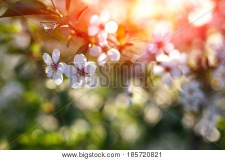 Apple Trees Flowers. Blooming Apple Tree In Springtime. White Flowers. Spring Background. Fruit Tree