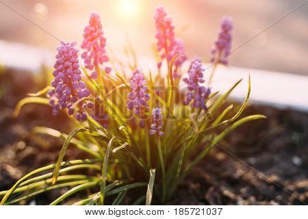 Purple Muscari Muscari Armeniacum Viola. Many Muscari Blue Flowers In Green. Spring Muscari Hyacinth