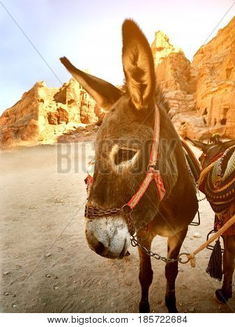 Traditional Arabic donkey in town of Petra Jordan