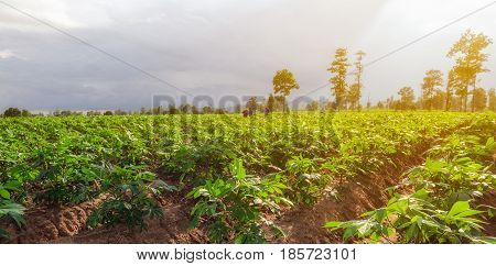 Workers in cassava field with sunset light and mountains background.