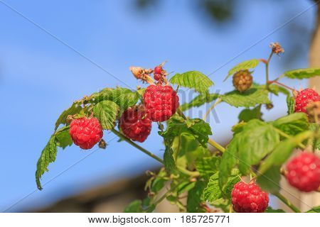 Branch With Green Leaves And Red Ripe Raspberry