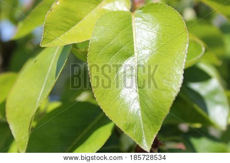 bright heart-shaped green leaves reflecting the sunshine showing crisp edge detail