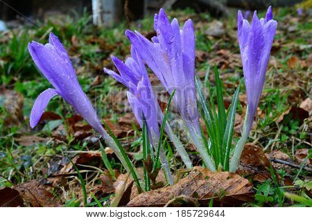 A group of wild saffron with rain drops after heavy spring rain