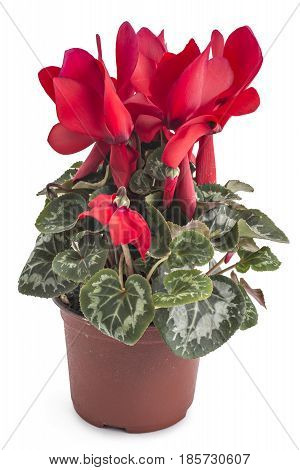 Red spring cyclamen flowers, Cyclamen persicum in a flowerpot isolated on white background