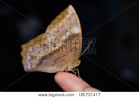 Common Duffer (discophora Sondaica) Butterfly