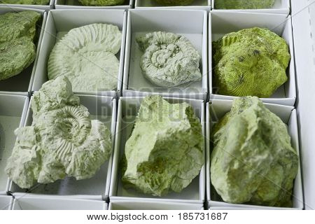 Ammonites Fossil Texture