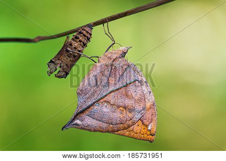 Orange Oakleaf (kallima Inachus) Butterfly