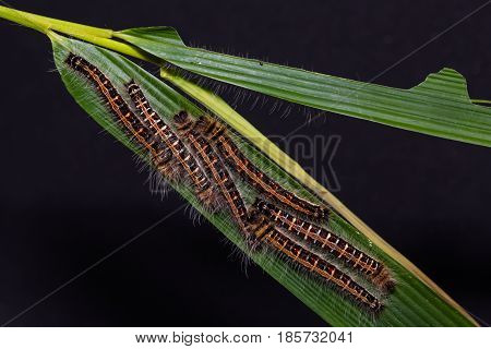 Common Duffer (discophora Sondaica) Caterpillars
