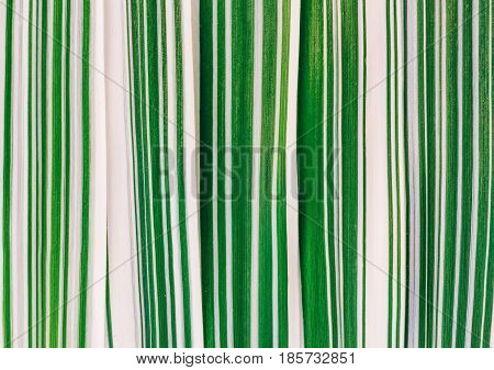Natural background from the leaves of the striped grass (phalaris variegated) close-up