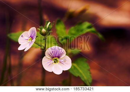 Wild forest Persian Speedwell flower in woods on nature on a dark brown background. Spring bloom wallpaper border template card for design
