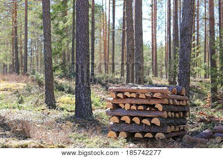 Stack of pine firewood in spring forest on a beautiful day.
