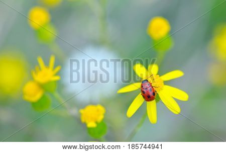 Ladybug on yellow flower in spring time