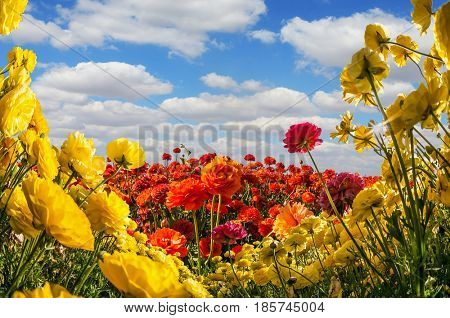 The southern warm sun illuminates the flower fields of red and yellow garden buttercups- ranunculus. Wind drives cumulus clouds. Collage. Concept of rural tourism