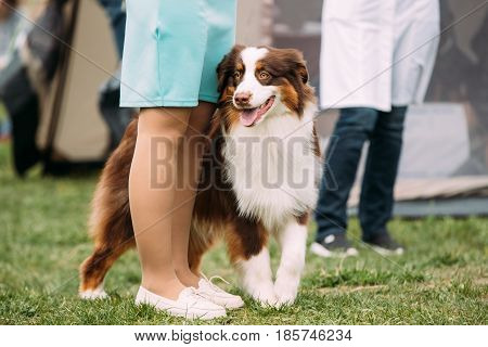 Funny Red And White Australian Shepherd Dog Standing Near Woman In Green Grass. Aussie Is A Medium-sized Breed Of Dog That Was Developed On Ranches In The Western United States, During The 19th Century.