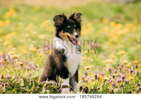 Young Happy Smiling Shetland Sheepdog Sheltie Puppy Playing Outdoor In Green Spring Meadow With Yellow Flowers. Playful Pet Outdoors.