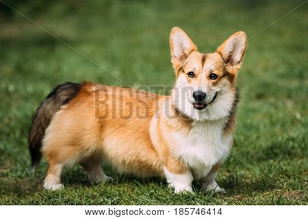 Funny Happy Pembroke Welsh Corgi Dog Playing In Green Summer Grass. Welsh Corgi Is A Small Type Of Herding Dog That Originated In Wales