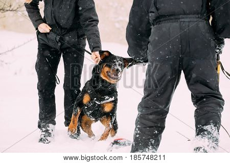 Training Of Purebred Black Rottweiler Metzgerhund Adult Dog. Attack And Defence. Winter Season
