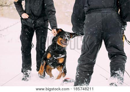 Training Of Purebred Black Rottweiler Metzgerhund Adult Dog. Attack And Defence. Winter Season