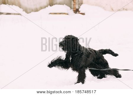 Funny Young Black Giant Schnauzer Or Riesenschnauzer Dog Fast Running Outdoor In Snow, Winter Season. Playful Pet Outdoors.