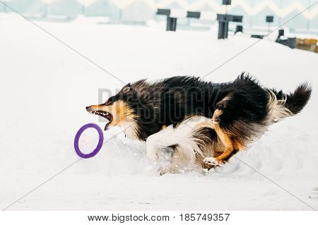 Funny Young Shetland Sheepdog, Sheltie, Collie Playing With Ring And Fast Running Outdoor In Snow, Winter Season. Playful Pet Outdoors.